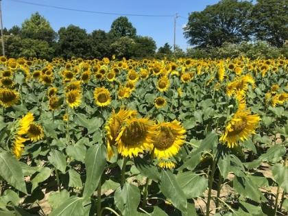 花の歳時記 8月 ひまわりとフィボナッチ数列