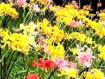 花の歳時記 9月 彼岸花
