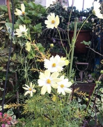 花の歳時記 11月 コスモス