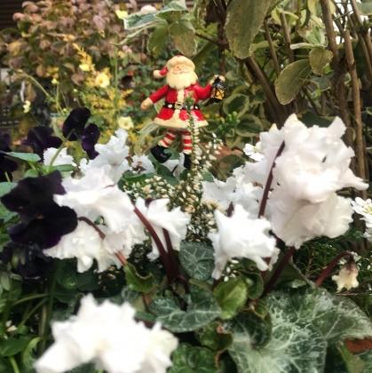 花の歳時記 12月 ガーデンシクラメン