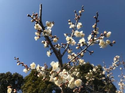 花の歳時記  2月 梅の花