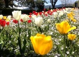 花の歳時記 4月 チューリップ
