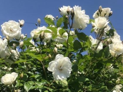 花の歳時記 5月 バラ